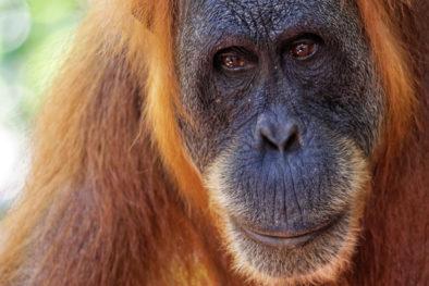 Orangutan - fotka ze zájezdu rafting na Sumatře