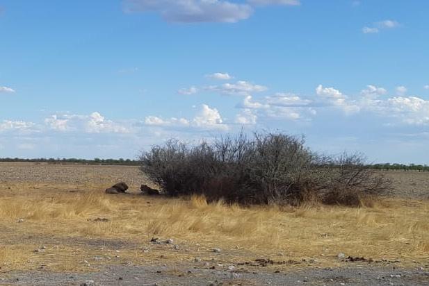 AC namibie výprava na kunene - safari v NP Etosha, pozorujeme lví rodinku